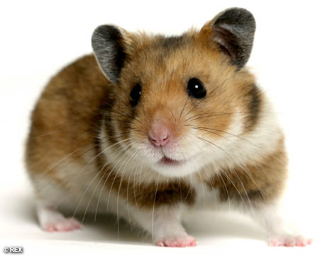 Baby Hamsters Trinidad Classifieds