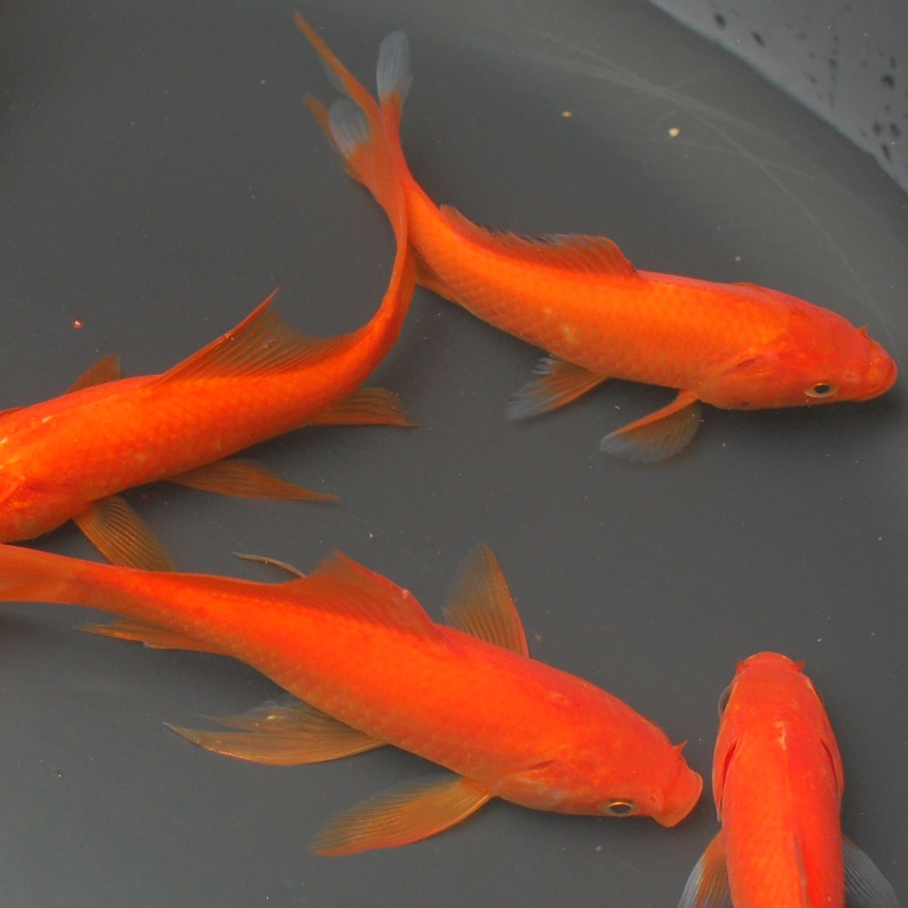 Different types of goldfishes trinidad classifieds for Local koi fish for sale