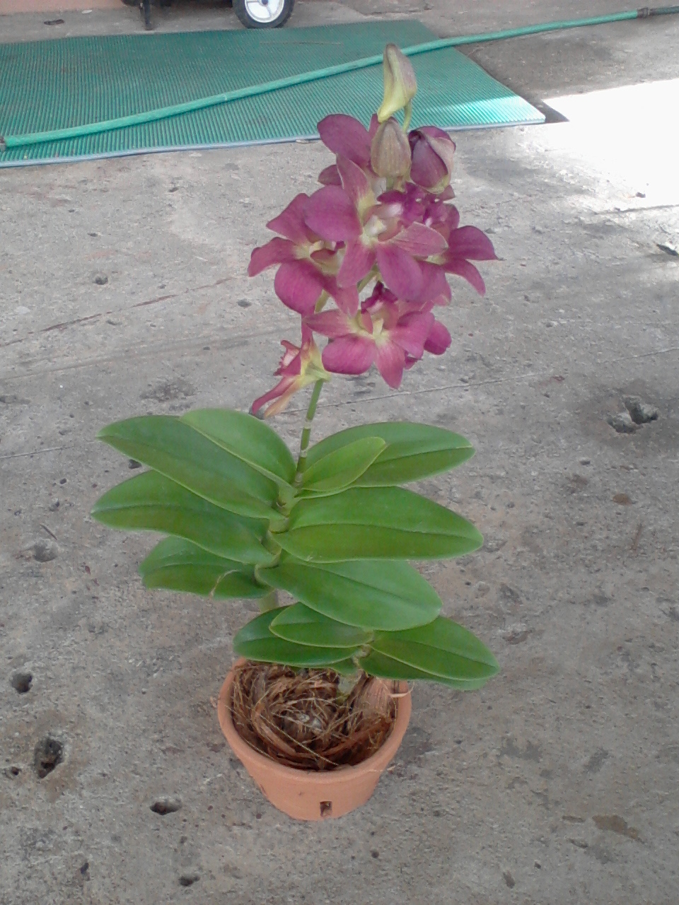 Orchids plants for sale images for Plants for sale
