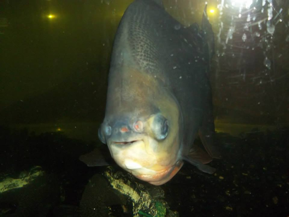 Red-Bellied pacu Trinidad Classifieds